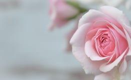 Delikat gräns - rosa rosor på bakgrund arkivfoton