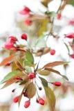 Delikat inflorescence av en körsbärsröd blomning Arkivfoto