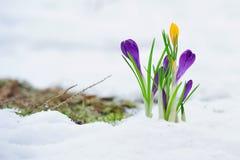 Delikat krokus blommar i snön Arkivbilder
