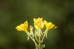 Delikat litet gult flowersinsolsken arkivbilder