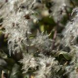Delikat och fluffigt vitt frö av klematisvitalbaen Lotten av huvud skapar effekten av snö på buskarna arkivbild
