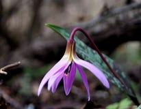 Delikat purpurfärgad krokus Arkivbild