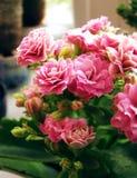 Delikat rosa blommakalanchoe på fönsterbräda arkivbild