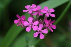 Delikat rosa mycket liten trädgårds- flox Arkivfoton