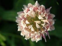 Delikat växt av släktet Trifoliumblomning Royaltyfri Bild