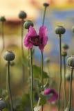 Delikat vallmoblomma i ett fält på naturen i solljus på en ljus bakgrund Flyg- delikata kronblad av en blommande vallmo och gräsp royaltyfri fotografi