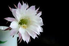 Delikat vit blomma av en kaktus på en mörk bakgrund royaltyfria bilder