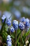 Delikata blåa Muscariblommor arkivbilder