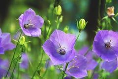 Delikata blåklockablommor i grön sommaräng royaltyfria bilder