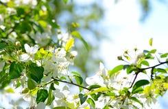 Delikata blommor av det vita ?pplet under det varma solskenet royaltyfri foto