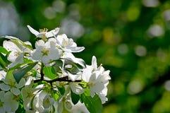 Delikata blommor av det vita ?pplet under det varma solskenet arkivbild