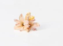 Delikata blommor av hyacinten på vit bakgrund Fotografering för Bildbyråer
