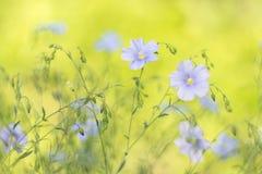 Delikata blommor av lin på en härlig bakgrund, mjuk selektiv fokus Royaltyfri Fotografi