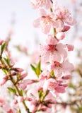Delikata blommor för vår av den blommande persikan Royaltyfri Bild
