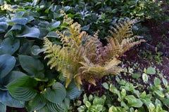 Delikata gröna ormbunkar som omges av hostas Royaltyfri Bild