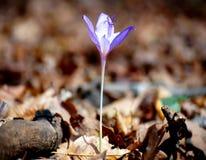 Delikata krokusblommor Royaltyfri Fotografi