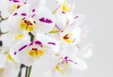 Delikata orkidéblommor och den stora neutrala bakgrundsPhalaenopsisorkidén Royaltyfri Bild
