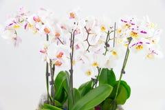 Delikata orkidéblommor och den stora neutrala bakgrundsPhalaenopsisorkidén Arkivfoton