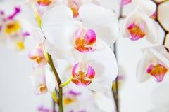 Delikata orkidéblommor och den stora neutrala bakgrundsPhalaenopsisorkidén Arkivfoto