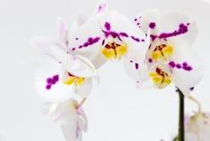 Delikata orkidéblommor och den stora neutrala bakgrundsPhalaenopsisorkidén Royaltyfri Fotografi