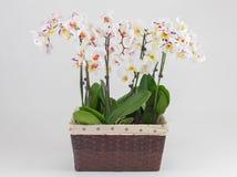 Delikata orkidéblommor och den stora neutrala bakgrundsPhalaenopsisorkidén Fotografering för Bildbyråer