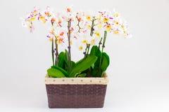Delikata orkidéblommor och den stora neutrala bakgrundsPhalaenopsisorkidén Royaltyfri Foto
