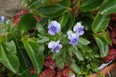 Delikata purpurfärgade blomningpansies Fotografering för Bildbyråer