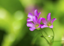 Delikata purpurfärgade vildblommor Royaltyfria Bilder