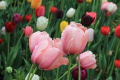 Delikata rosa tulpan med vattensmå droppar efter vårregn på bakgrunden av tulpan av olika färger royaltyfri foto