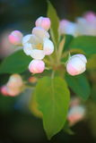 Delikata vit- och rosa färgknoppar royaltyfri bild