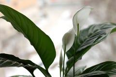 Delikata vita blommor på spathiphyllumen för inomhus växt royaltyfri fotografi