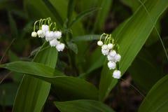Delikata vita liljekonvaljblommor mot gröna sidor arkivbild