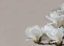 Delikatna biała magnolia kwitnie dla ślubnych zaproszeń, reklamy, plakaty, znaki, inni pojęcia i doskonali pomysły, i Horiz Fotografia Royalty Free