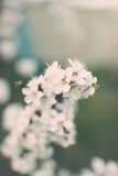 Delikatna biała wiosna kwitnie na moreli na słonecznym dniu Zdjęcie Stock