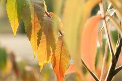 Delikatna gałązka z kolorem żółtym opuszcza w wieczór świetle słonecznym Obraz Stock