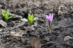 delikatna kwiatu menchii wiosna Różowego krokusa odwiecznie bączasta bulwa Fotografia Royalty Free