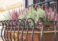 Delikatna lawenda w kwiatu garnku obrazy stock