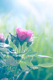 Delikatna menchii róża Fotografia Stock