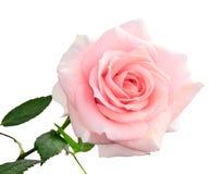Delikatna menchii róża odizolowywająca na bielu Fotografia Stock