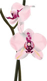 Delikatna orchidea Obraz Royalty Free