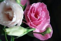 Delikatna preryjna gencjana kwitnie w naturalnym świetle na ciemnym tle zdjęcia royalty free