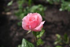 delikatna różową różę Zdjęcia Royalty Free