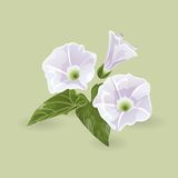 delikatne kwiaty purpurowych również zwrócić corel ilustracji wektora Fotografia Royalty Free