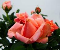 Delikatne różowe róże na białym zamazanym tle zdjęcie stock