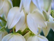 Delikatni biali campanulate kwiaty jukka kwitną w Sierpień obrazy royalty free