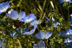 Delikatni dzieci niebieskich oczu kwiaty i Miodowa pszczoła zdjęcia royalty free