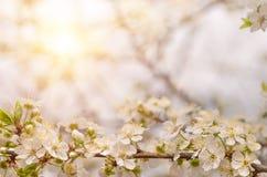 Delikatni kwiaty i młodzi liście czereśniowy drewno Zdjęcia Royalty Free