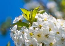Delikatni kwiaty i młodzi liście czereśniowy drewno Obrazy Royalty Free