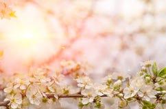 Delikatni kwiaty i młodzi liście czereśniowy drewno Fotografia Stock