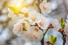 Delikatni kwiaty i młodzi liście morelowy drewno Obraz Royalty Free